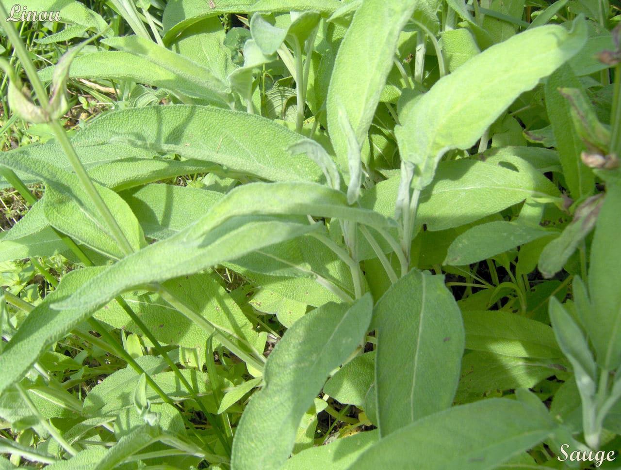 La l gende de la sauge le jardin de joeliah le jardin de joeliah - Planter de la sauge ...