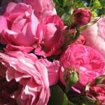 Roses Florence Petit-Barreau copyright Jardin de Joéliah