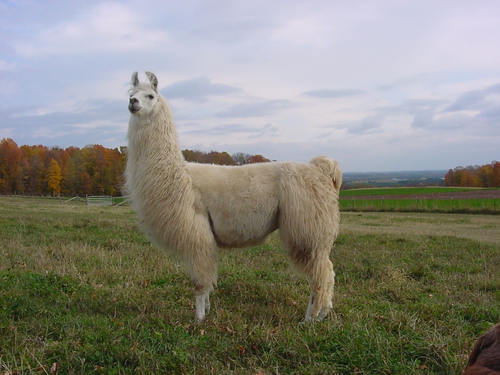 how to catch a llama