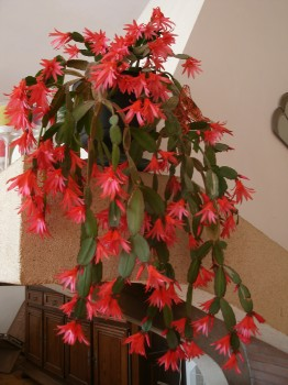 Cactusdenoeljoeliah1